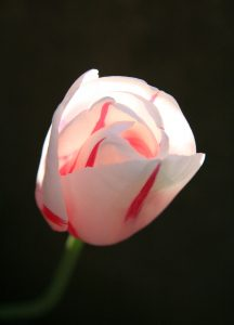 C1001 Tulpe Sorbet