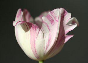 C1017-Tulpe