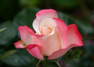 C1043-Rose-Nostalgie