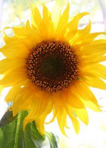 C1052 Sonnenblume