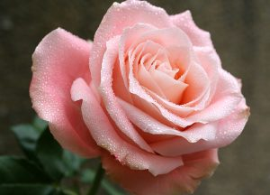 C1075-Rose