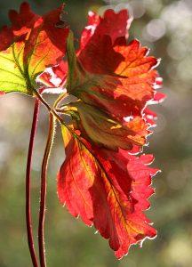 C1101-Herbstfaerbung