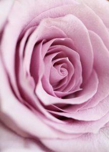 C1230 altrosa Rose