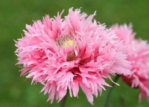 C1271-gefuellter-rosa-Mohn